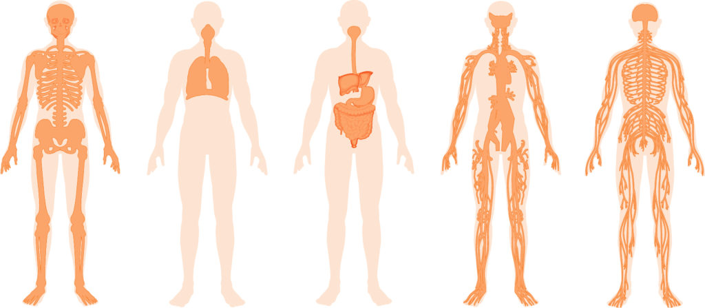 Do you know your body's main systems?